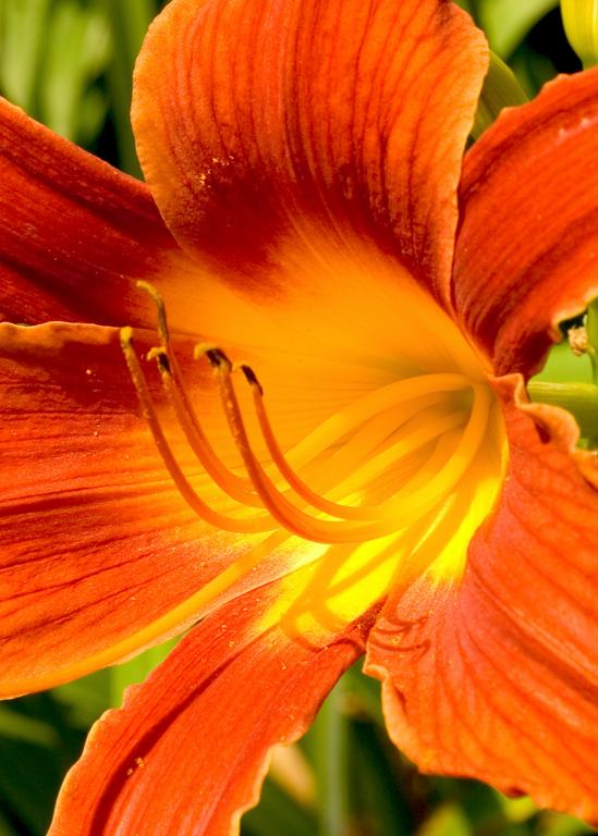 Day Lily 2 Photography Art | Hatch Photo Artistry LLC
