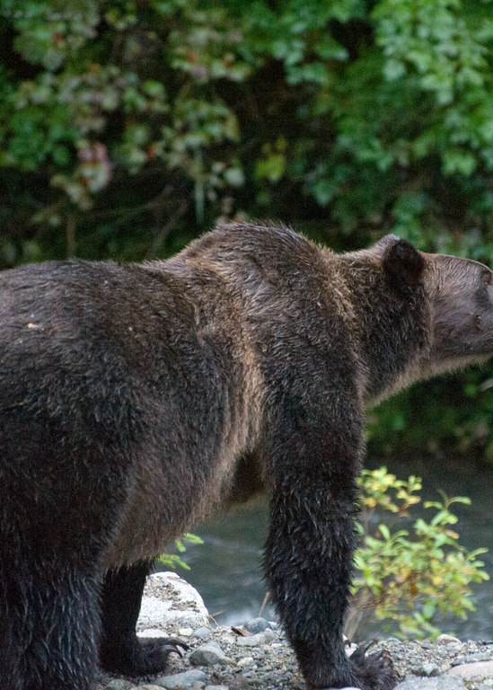 Grizzly Bear On The Lookout Photography Art | Hatch Photo Artistry LLC