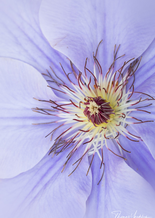 Clematis Contrast Photography Art   Thomas Yackley Fine Art Photography