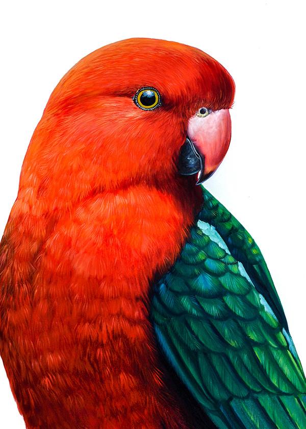 Geoffrey - King Parrot