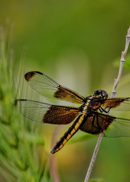 Dragonflies 6647 Fs   Art | Koral Martin Fine Art Photography