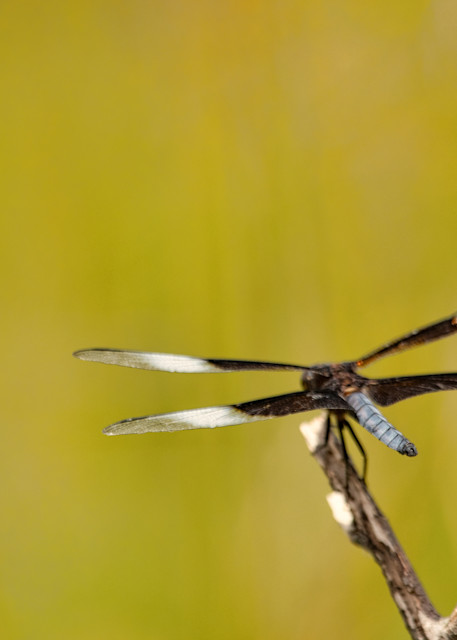Dragonflies     6716  Art | Koral Martin Fine Art Photography