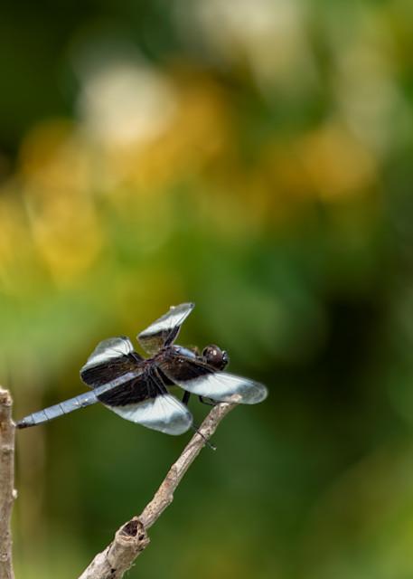 Dragonflies  6624  Art   Koral Martin Fine Art Photography