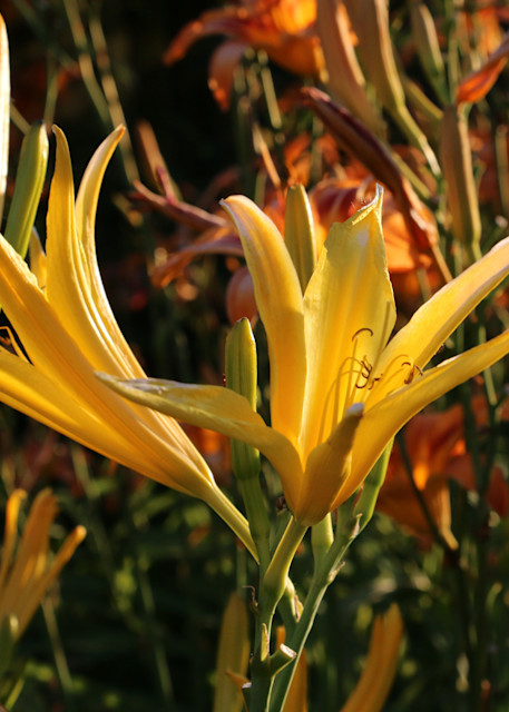 Heralding The Daylily Art   Moore Design Group