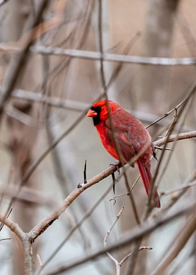 Winter Cardinal Photography Art | Happy Hogtor Photography
