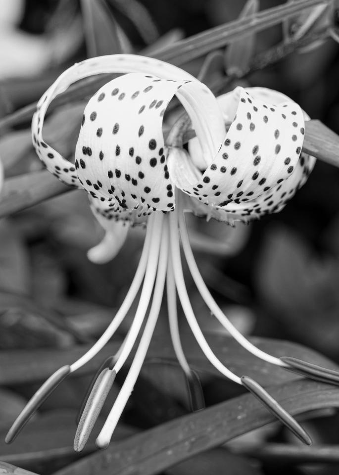 Oriental Lily Photography Art | Hatch Photo Artistry LLC