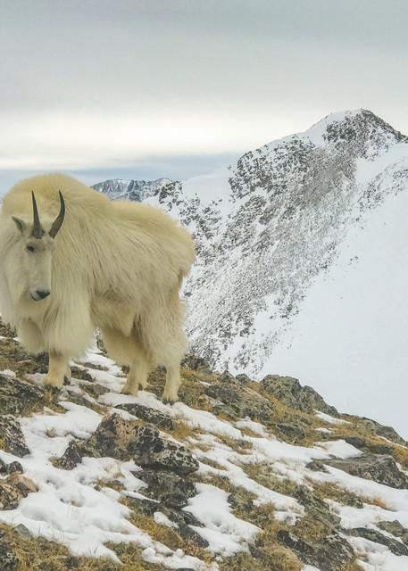 Mountain Goat  Photography Art | Alex Nueschaefer Photography