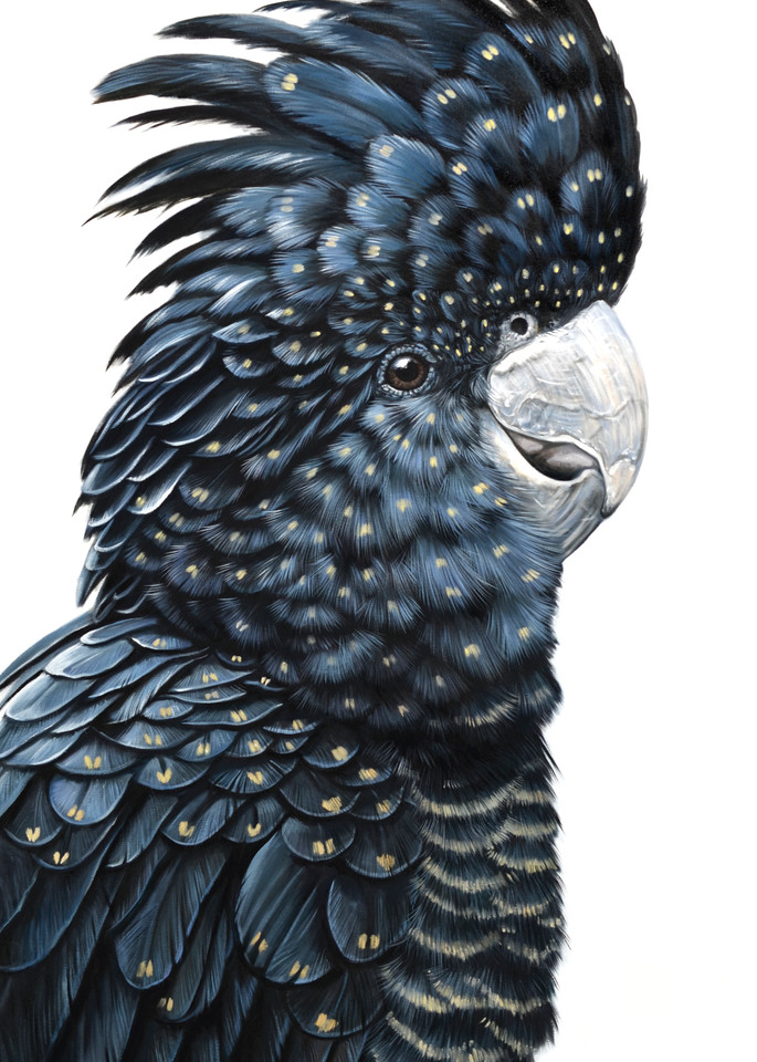 Annie - Red-tailed Black Cockatoo