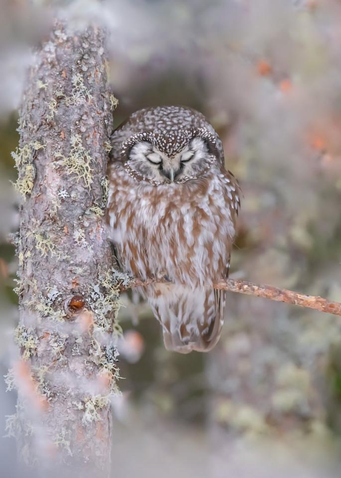 Sleepy Boreal Owl Art | Sarah E. Devlin Photography