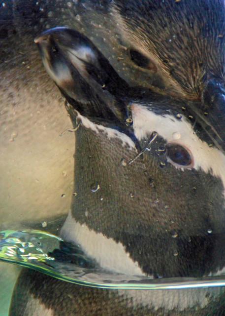 tenderness penquins waterbirds nosnow love