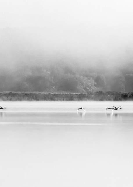 Four Swans at North Cove