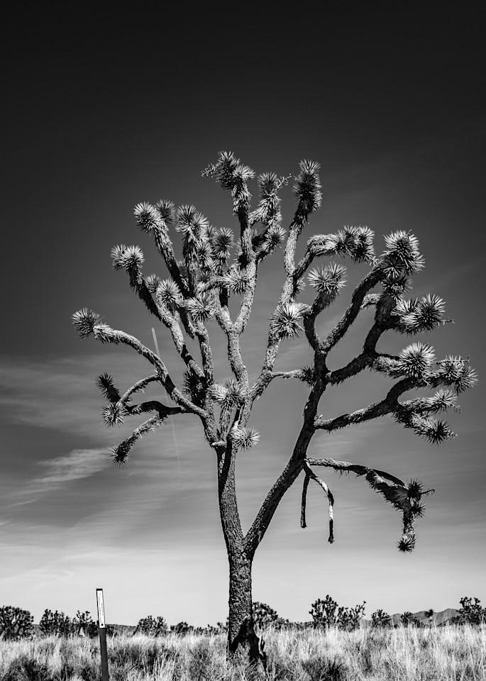 Joshua Tree in Black and WHite