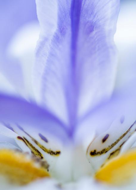 African Iris Detail, San Diego, California