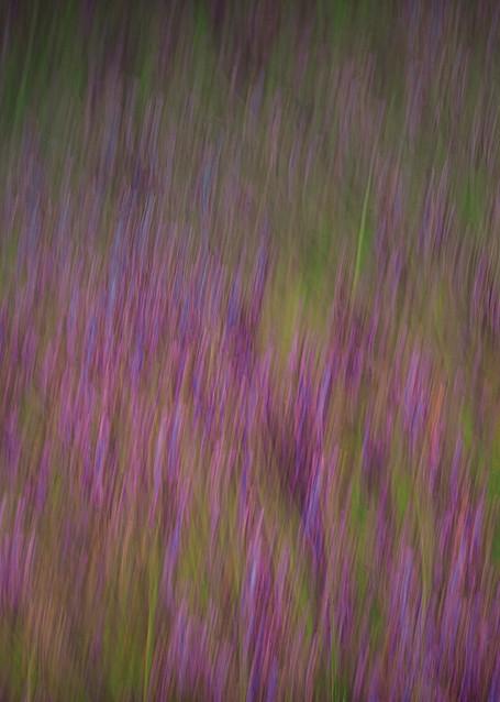 Lavender Fields Forever Photography Art   Sheryl's Virtual Garden