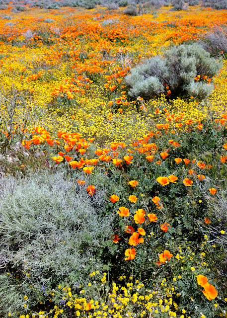 Supper Bloom, Poppies  # 3564 Photography Art | Mary Edwards Photography