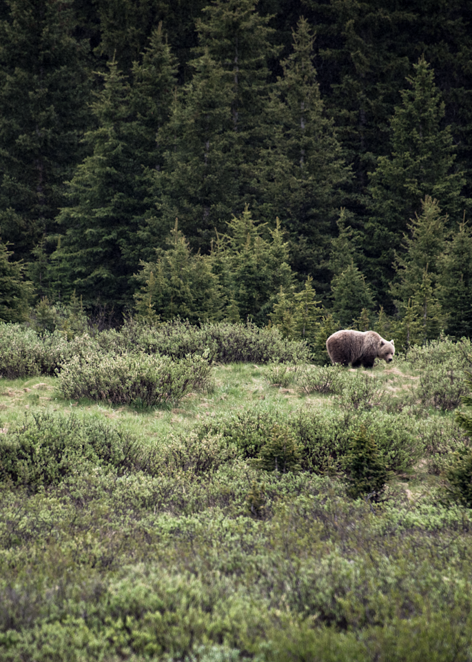Canadian Grizzly Bear Photography Art | Hatch Photo Artistry LLC