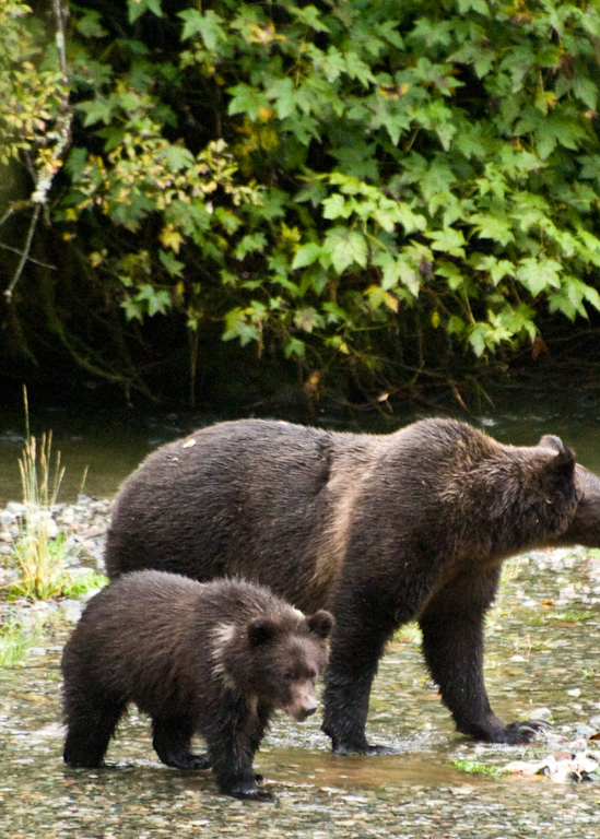 Grizzly Bear Mom And Cub Photography Art | Hatch Photo Artistry LLC