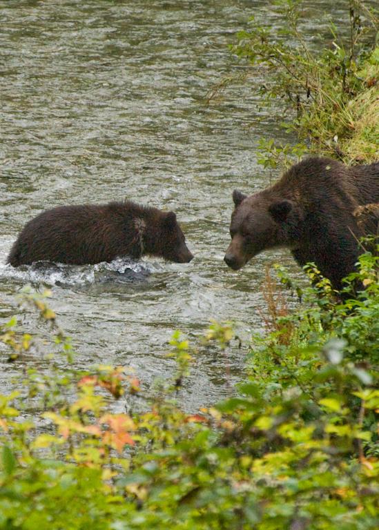 Grizzly Mom Warns Cub Photography Art | Hatch Photo Artistry LLC