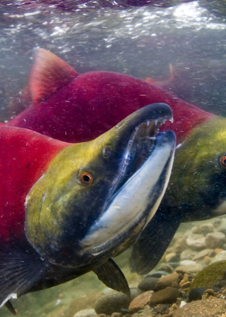 Sockeye  # 8748 Photography Art | Mary Edwards Photography