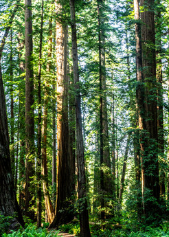 Ancient Souls - Redwood forest in Northern California photograph print