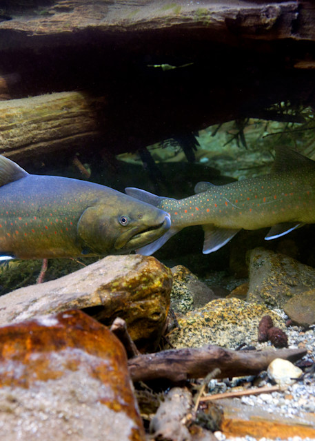 Bull Trout   # 2531 Photography Art | Mary Edwards Photography