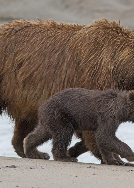 """""""Stick With Me, Kid...""""   Alaskan Brown Bear Sow And Cub Art 
