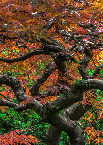 Photograph of a Japanese Maple with brilliant colored leaves