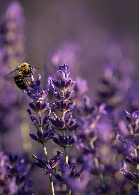 Pollenating In Purple