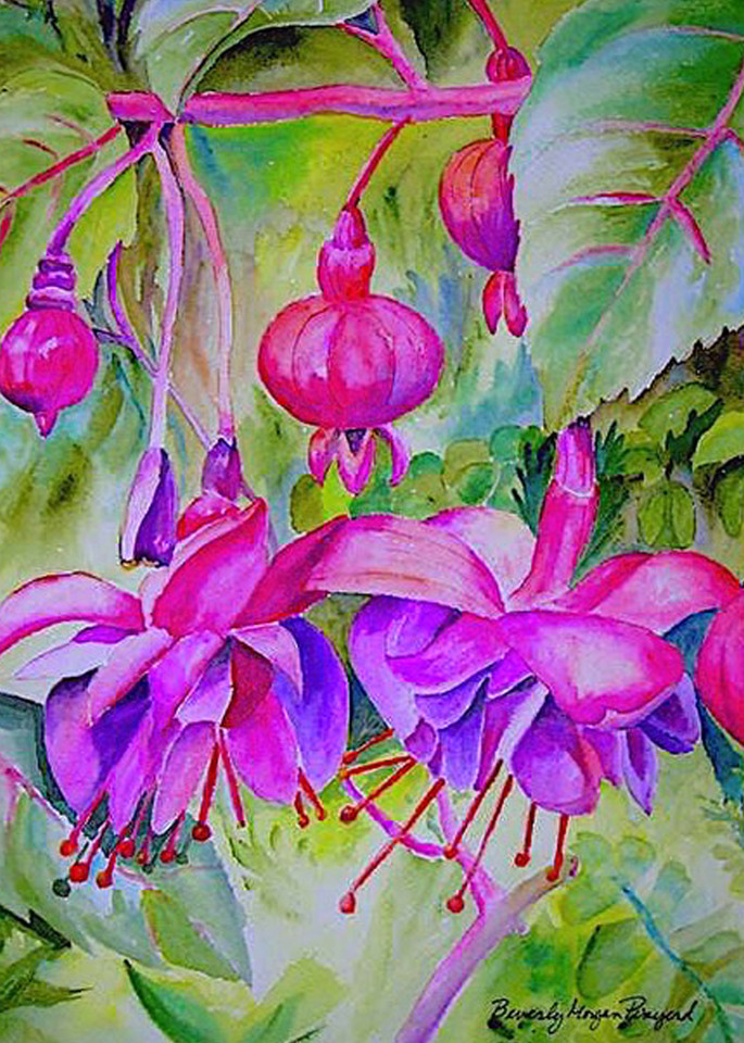 Fuchsia, From an Original Watercolor Painting