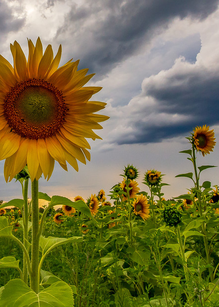 Sunflowers And Clouds Photography Art | Nelson Rudiak Photography