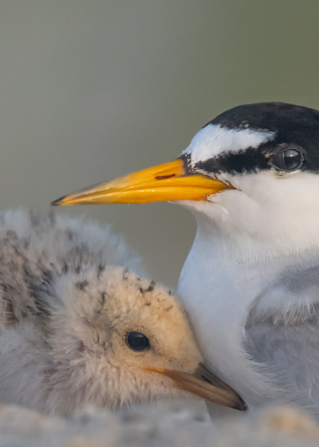 Least Tern With Chick Art   Sarah E. Devlin Photography