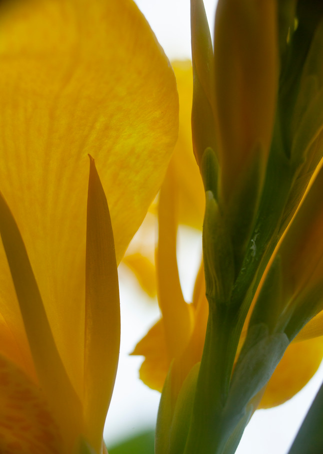 Canna Lily From Below Photography Art | Christopher Grey Studios