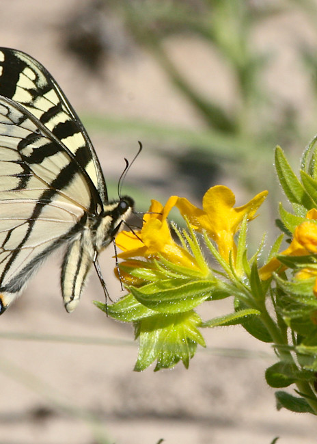 Tiger Swallowtail Photography Art | Drew Smith Photography, LLC
