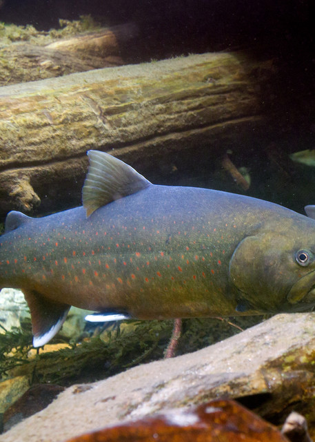 Bull Trout # 2531 A Photography Art | Mary Edwards Photography