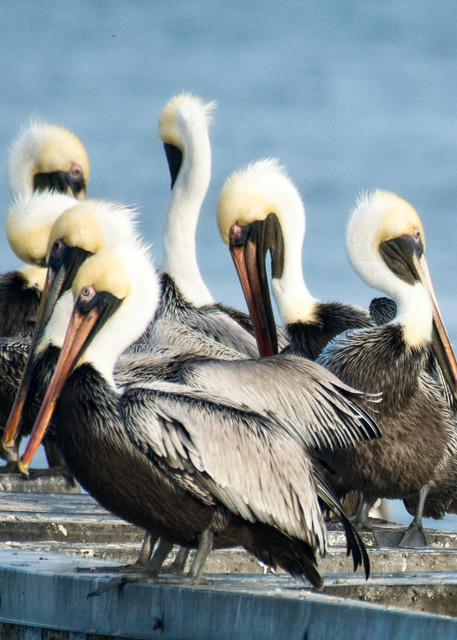 Brown Pelicans Gathering on Harbour Town Pier
