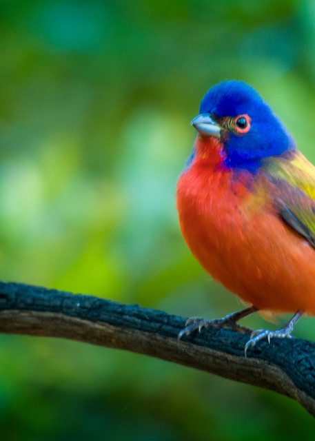 Male Painted Bunting on a Perch