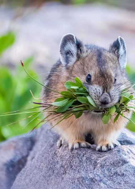 Pika Gathering Food For The Winter Photography Art   Peter Batty Photography