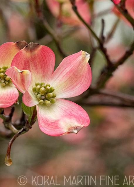 Pink Dogwood 9146 8 Hf  Photography Art   Koral Martin Healthcare Art
