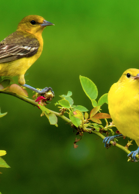 Orchard Orioles on a Garden Branch