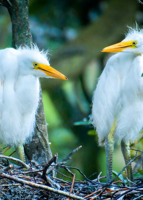 Pair of Juvenile Snowy Egrets on Nest