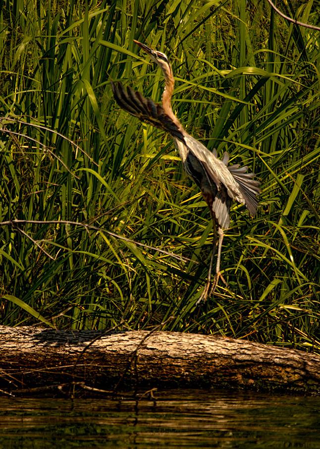 Heron Jumping0899     Photography Art   Koral Martin Healthcare Art