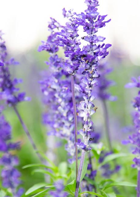 New Zealand Lavender Photography Art | Kristofer Reynolds Photography