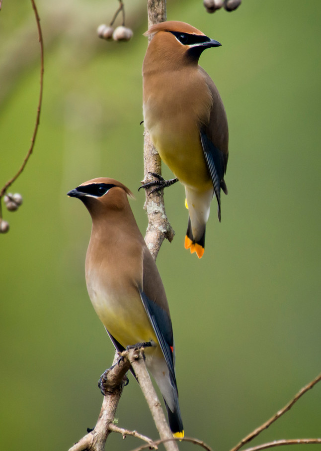Pair of Cedar Waxwings