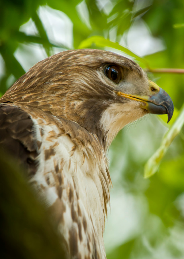 Red Tailed Hawk Head Shot