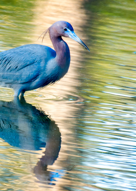 Little Blue Heron Searching for Fish