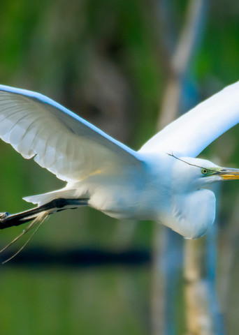 Great Egret in Flight With Nesting Material