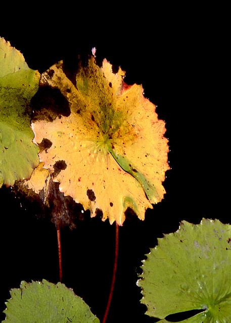 Lily Pads Brooklyn Botanic Abstract Print – Sherry Mills
