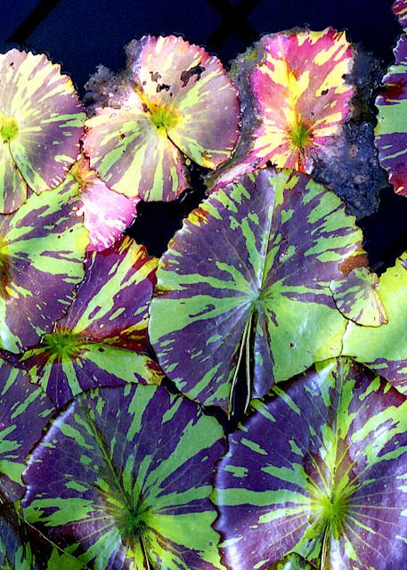 Purple Green Lily Pads In Brooklyn Print – Sherry Mills