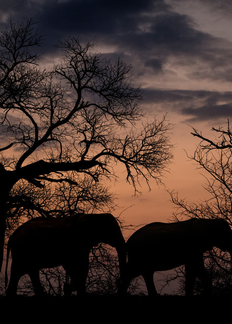 Elephants silhouette art gallery photo prints by Rob Shanahan