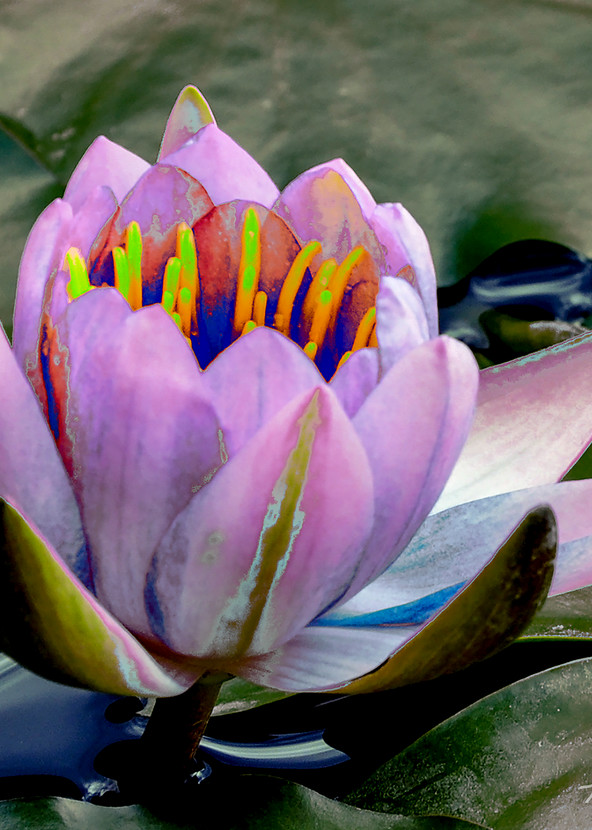 Lily Pad Funky 3, Photo by Terry Rosiak